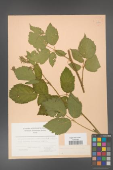 Rubus hirtus [KOR 22722]