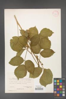 Rubus hirtus [KOR 27066]