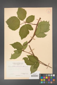 Rubus hirtus [KOR 27065]