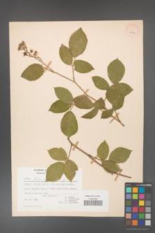 Rubus hirtus [KOR 27069]