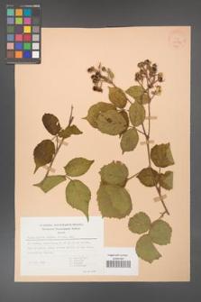Rubus hirtus [KOR 30582]