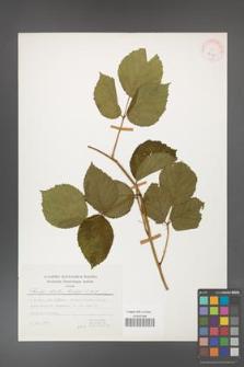 Rubus hirtus [KOR 25125]