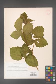 Rubus hirtus [KOR 18478a]