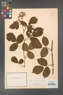 Rubus hirtus [KOR 18475a]