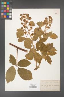 Rubus hirtus [KOR 18473a]