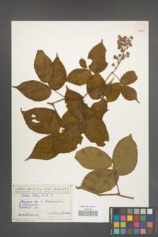 Rubus hirtus [KOR 18474a]