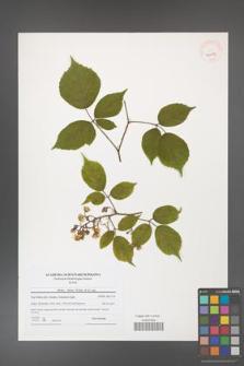 Rubus hirtus [KOR 40673]