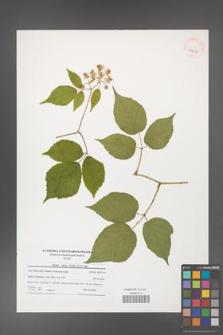 Rubus hirtus [KOR 40650]