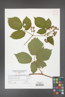 Rubus hirtus [KOR 42017]