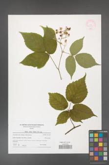 Rubus hirtus [KOR 44555]