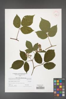 Rubus hirtus [KOR 40630]