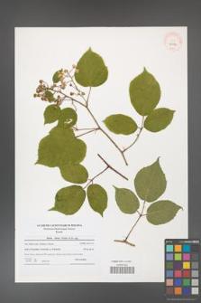 Rubus hirtus [KOR 40624]