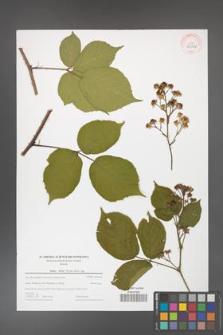 Rubus hirtus [KOR 44004]