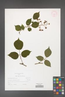 Rubus hirtus [KOR 44347]