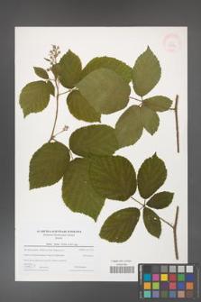Rubus hirtus [KOR 43283]