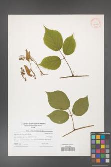 Rubus hirtus [KOR 40774]