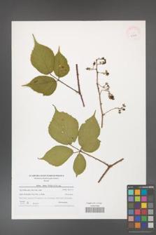 Rubus hirtus [KOR 40771]