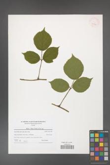 Rubus hirtus [KOR 40791]
