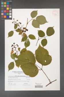 Rubus hirtus [KOR 41053]