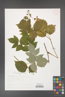 Rubus idaeus [KOR 30553]