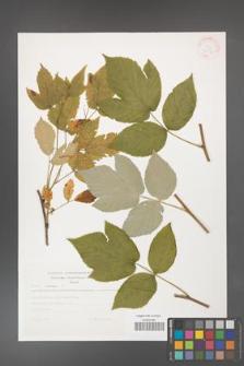 Rubus idaeus [KOR 30554]