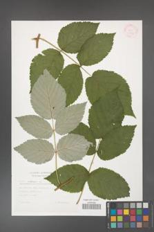 Rubus idaeus [KOR 30549]