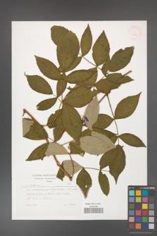 Rubus idaeus [KOR 29807]