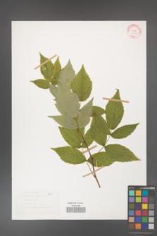 Rubus idaeus [KOR 30796]