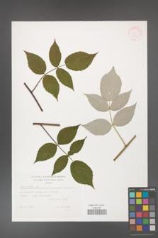 Rubus idaeus [KOR 32446]