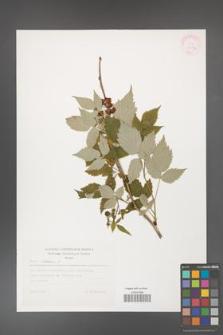 Rubus idaeus [KOR 30552]