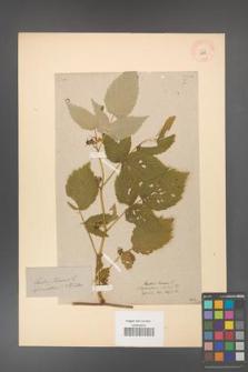 Rubus idaeus [KOR 10835]