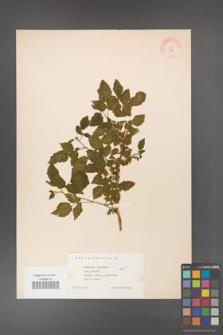 Rubus idaeus [KOR 10817]