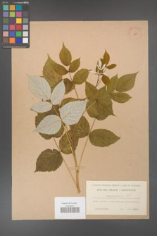 Rubus idaeus [KOR 10830]