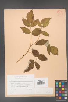 Rubus idaeus [KOR 24355]