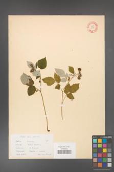 Rubus idaeus [KOR 10823]