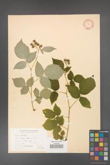 Rubus idaeus [KOR 10816]