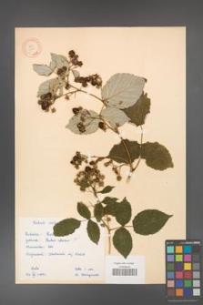 Rubus idaeus [KOR 10824]