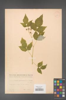 Rubus idaeus [KOR 18674]