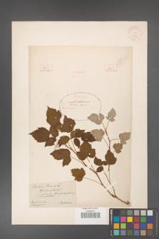 Rubus idaeus [KOR 18485]