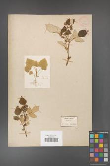 Rubus idaeus [KOR 18486a]