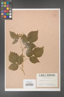 Rubus idaeus [KOR 36383]