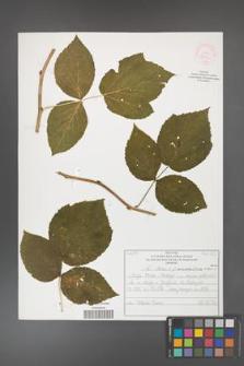 Rubus idaeus [KOR 52080]
