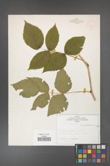 Rubus idaeus [KOR 52088]