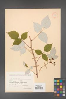 Rubus idaeus [KOR 10825]