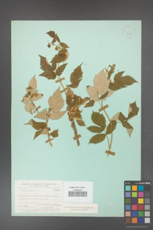 Rubus idaeus [KOR 23795]