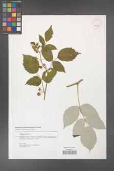 Rubus idaeus [KOR 45752]