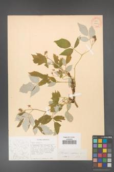 Rubus idaeus [KOR 27062]