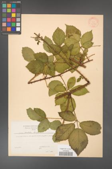 Rubus koehleri [KOR 30790]