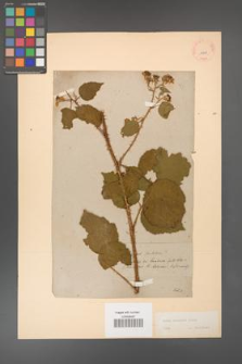 Rubus koehleri [KOR 10841]