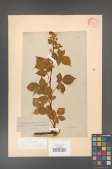 Rubus koehleri [KOR 10838]